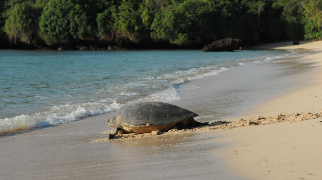 Rock and Stones - Kuruwitu turtle